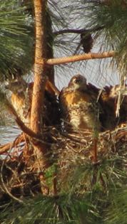 Baby Red Tail Hawks in Nest